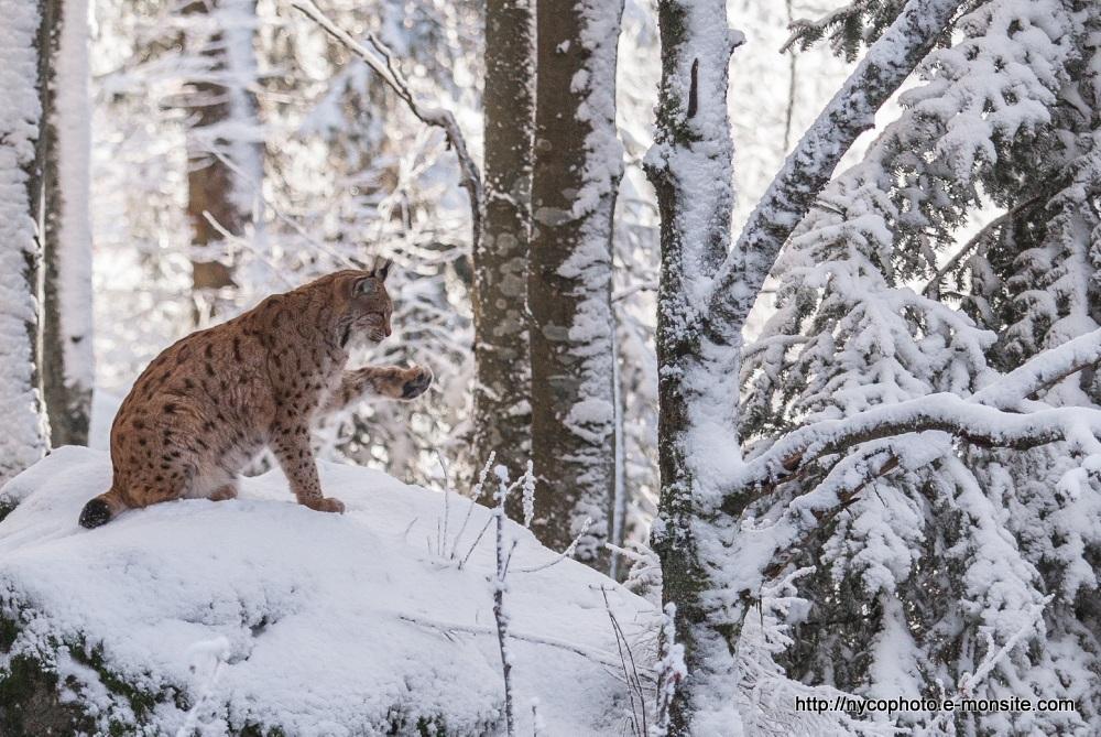 Lynx bw 18 img 8789 b z raw ligh 1